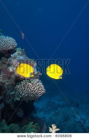 ein paar von masked Falterfisch (Chaetodon Semilarvatus)
