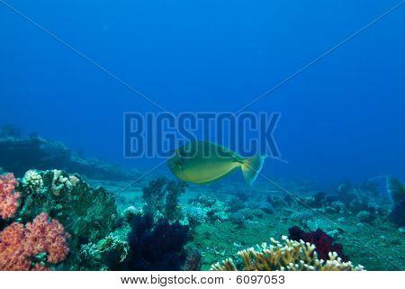 Bluespine Unicornfish (naso Unicornis)