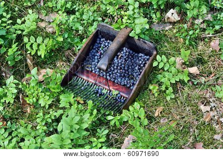 Collect Blueberries