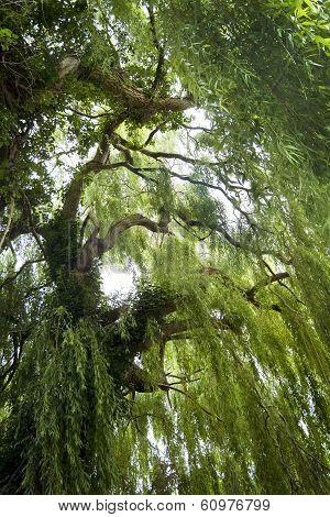 Inside a Summer Willow