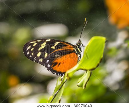 Tiger Longwing Butterfly In The Mist
