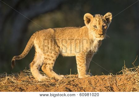 African Lion Cub (panthera Leo) Standing South Africa