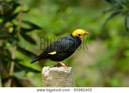 Male Golden-crested Myna (ampeliceps Coronatus)