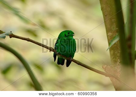 Male Green Broadbill (calyptomena Viridis)