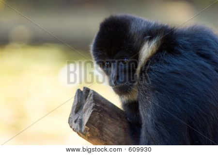 Young Black Siamang