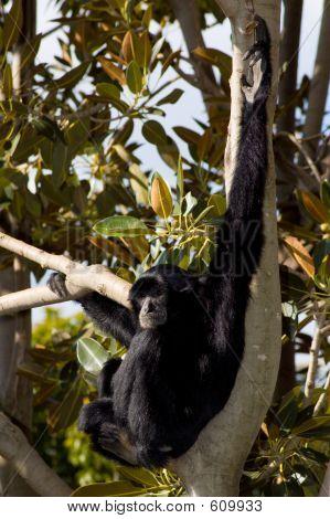 Agile Black Siamang