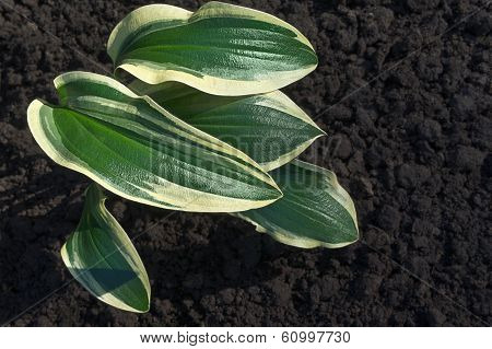 Hosta Of The Ground