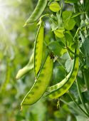 foto of green pea  - Green peas growing on the farm - JPG