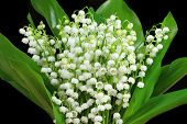 stock photo of lily  - Bunch of white lilies. Lily of the valley.