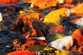 picture of coy  - feeding fish in a coy pond at the national arboretum  - JPG