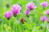 pic of red clover  - red flower clovers on green background - JPG