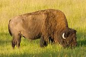 American Bison (Buffalo) during early summer in Yellowstone National Park