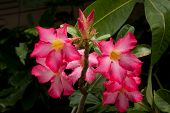 stock photo of desert-rose  - Pink Impala Lily Or Desert Rose Flowers - JPG