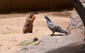 foto of gopher  - Gopher eats and watching a dove - JPG