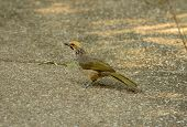 picture of bulbul  - beautiful Straw - JPG