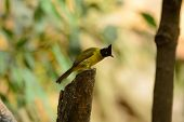 foto of bulbul  - beautiful black - JPG