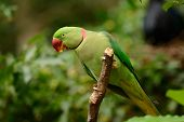 stock photo of parakeet  - beautiful male Alexandrine Parakeet (Psittacula eupatria) in Thai forest