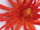 blooming dahlia on white background