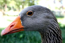 image of honkers  - A close profile shot of Loose my pet goose - JPG