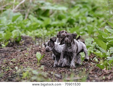 litter of german shorthaired pointer puppies playing outside in the woods