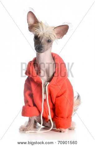 dog wearing sweater - chinese crested puppy isolated on white background