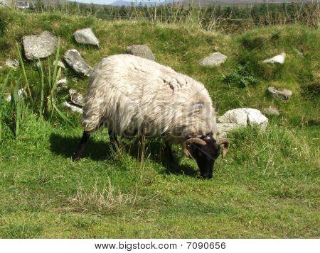 One Suffolk Sheep On A Green Field