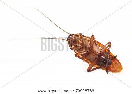 Dead Cockroach Lying On Its Back