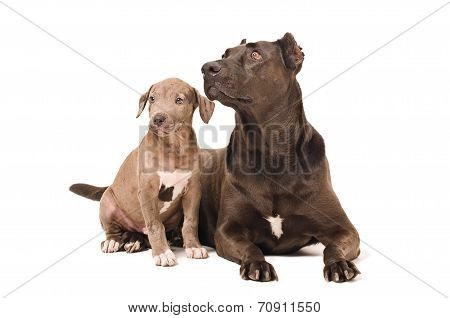 Dog and puppy pitbulls