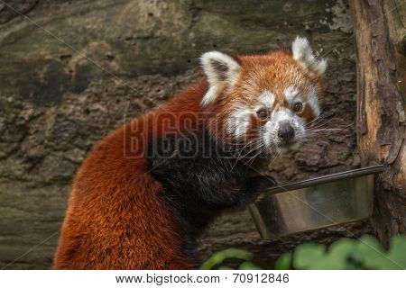 The red panda ( lesser panda, red cat-bear )