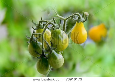 Ripening yellow pear tomatoes