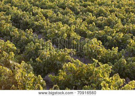 Mediterranean Vineyards At Sunset In Crete. Greece