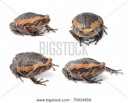 Bullfrog Isolated On White Background