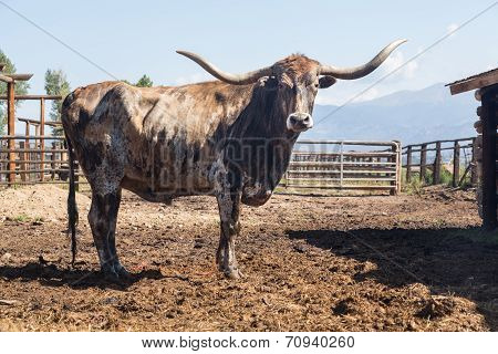 Old Longhorn Bull In Paddock