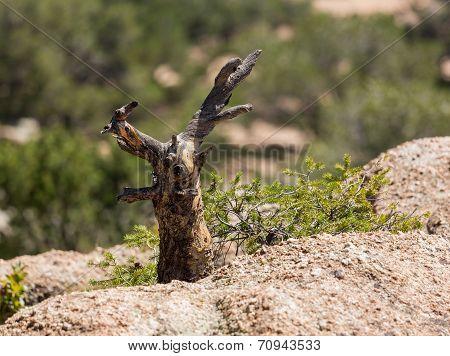 Stunted Tree Trunk On Granite Rocks