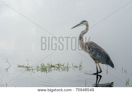 Blue Heron Waiting In Still Water