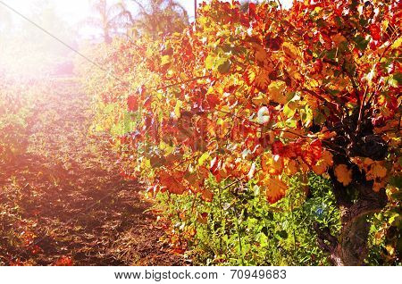 Rows Of Grape Vines With Autumn Leaves Sunset.