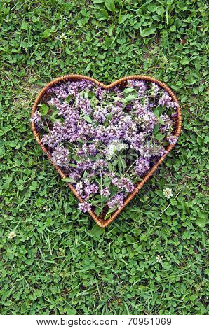 Medical Herb Oregano Wild Marjoram Flowers In Heart Form Basket