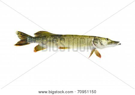 Fresh Raw Pike Esox Lucius Fish Isolated On White