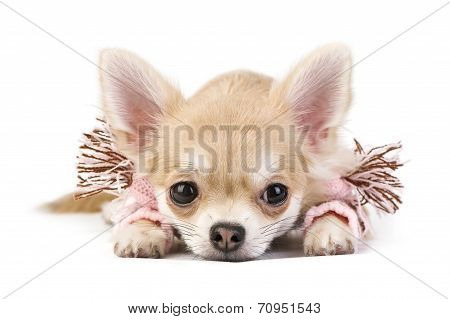 Cute chihuahua puppy with pink scarf