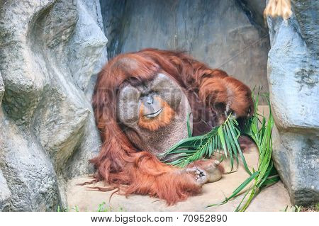 Portrait of Orangutan (Pongo pygmaeus) eating green leaves.