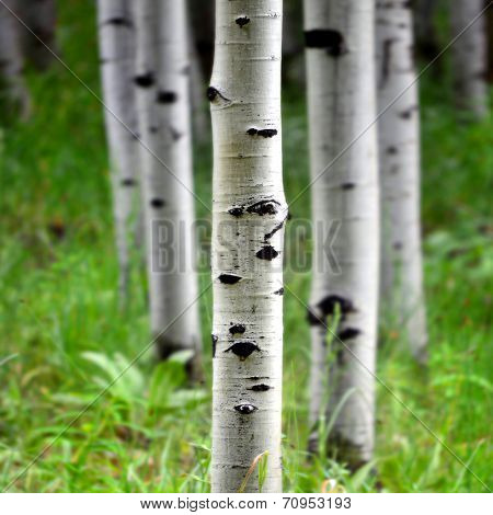 Detail of several aspen birch trees with green summer leaves