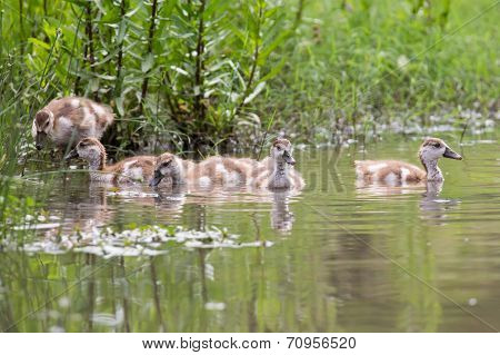 Baby Egyptian Goose Go For A Swim On Their Own In Dangerous Water