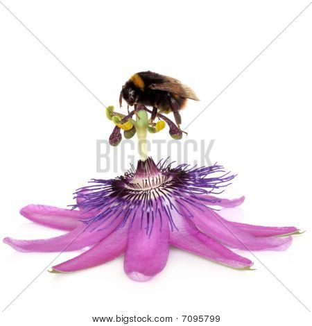 Passion Flower And Bumblebee