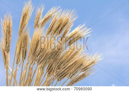 Bundled barley