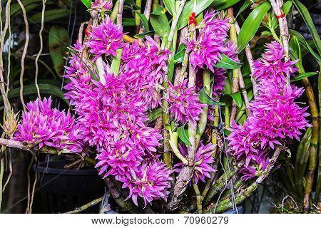 Bracteosum Pink.