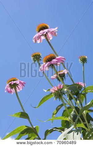 Echinacea flowers in vertical