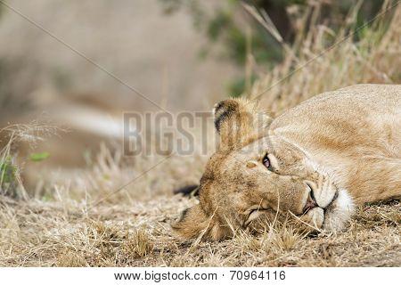 Sleepy Lioness
