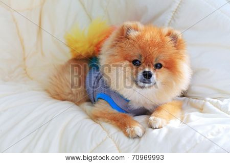 Pomeranian Grooming Dog Wear Clothes On Bed At Home