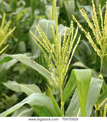 The field of corn stalks