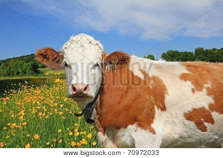 Beautiful Buttercup Meadow And Cow